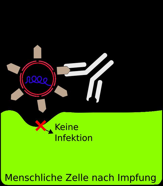 Gegen das Coronavirus geimpfte (immunisierte) menschliche Zelle