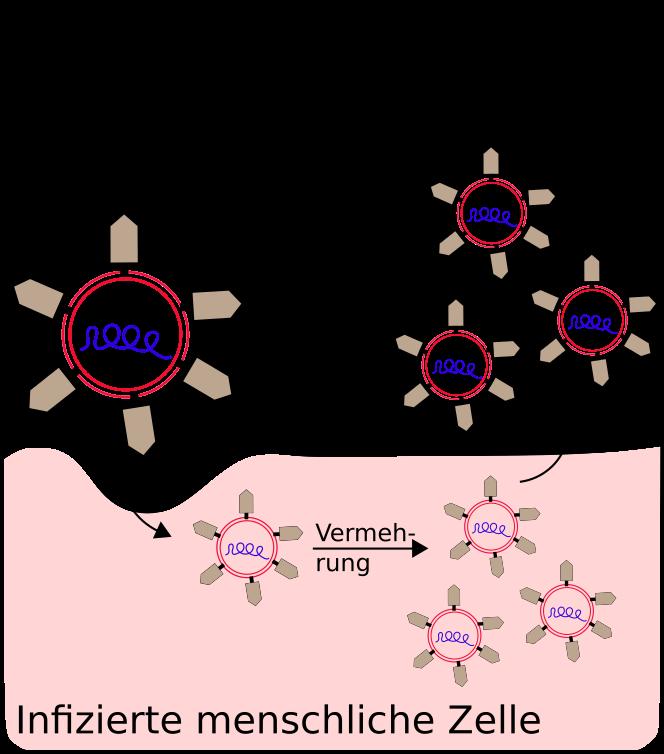 Infektion einer menschlichen Zelle mit dem Coronavirus